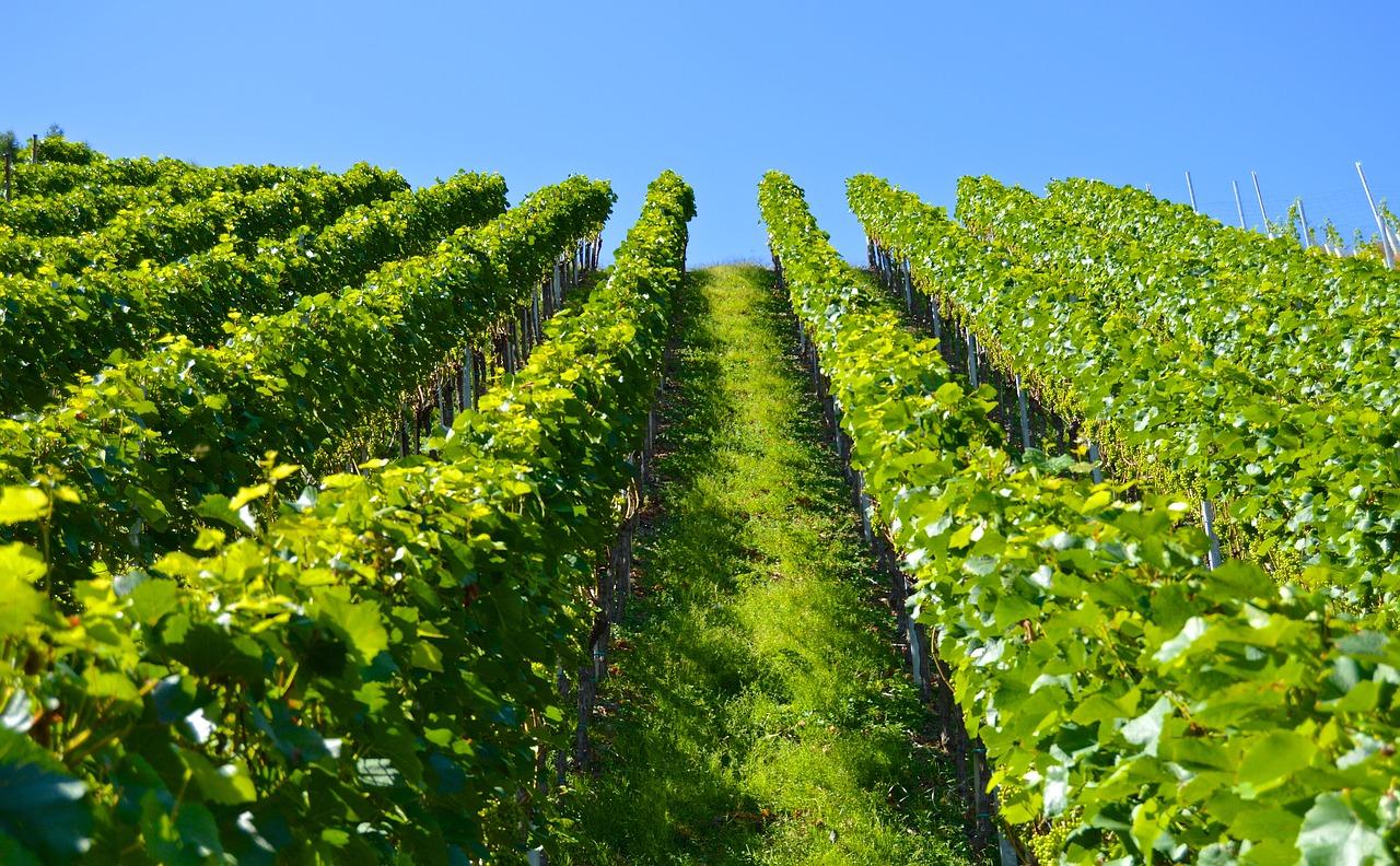 Tirano città del vino- Vitigni